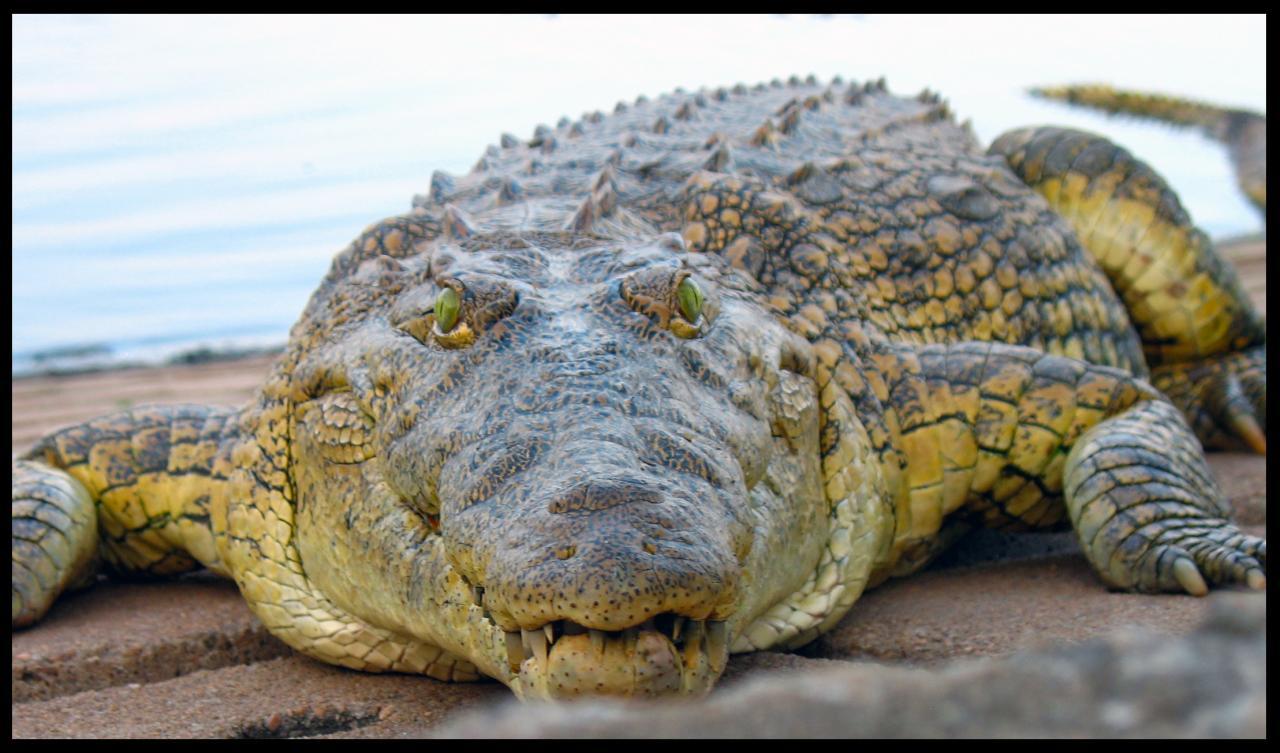 Crocodile d'Houphouët