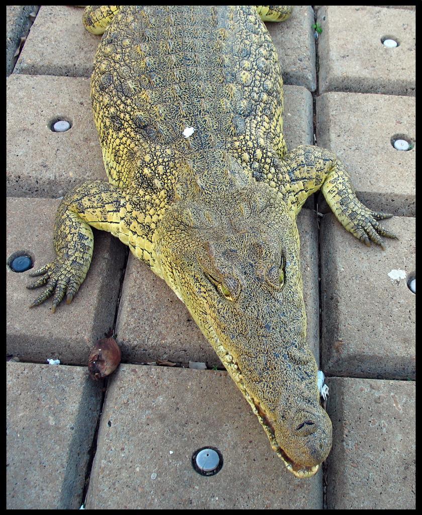 Crocodile d'Houphouët 2
