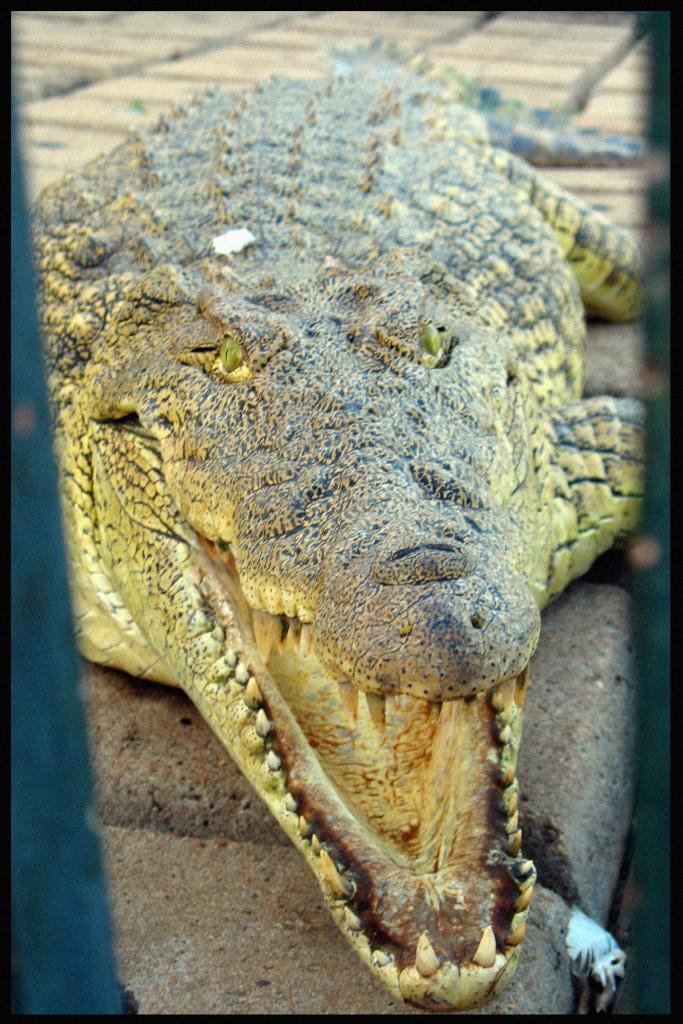Crocodile d'Houphouët 3