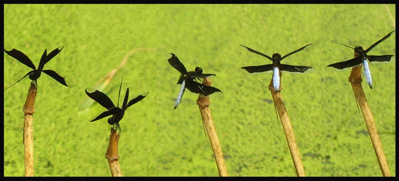 Danse des libellules